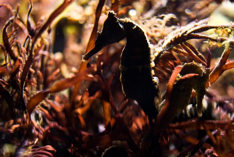 Seahorse - Monterey Bay Aquarium