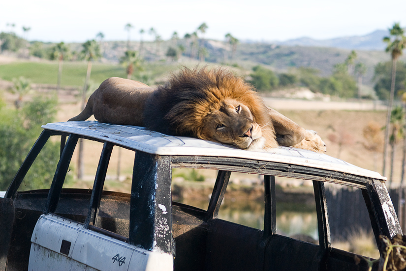 lion at the san diego wild animal park
