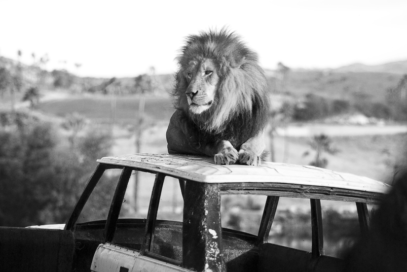 lion at the san diego wild animal park in black and white
