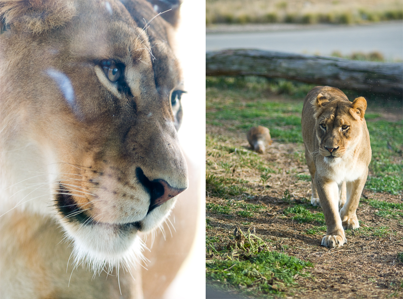 lionness diptych at san diego zoo