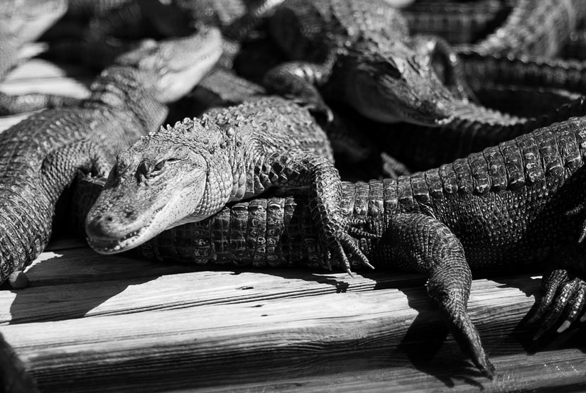 alligators in black and white