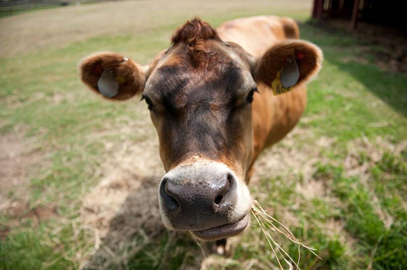 oxon hill cow