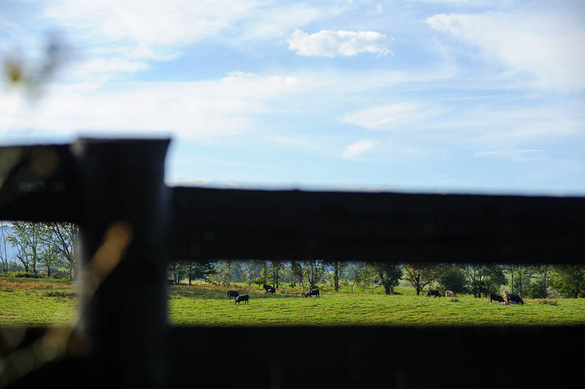 cows on the marriott ranch property